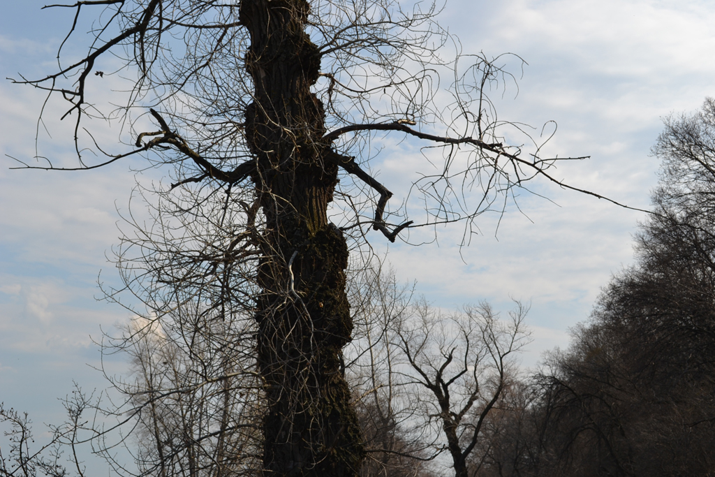 Гаврилова Поляна танцующее дерево