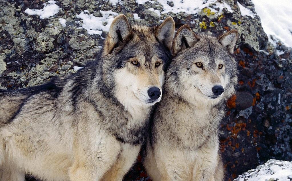 Волки в Самарской Луке