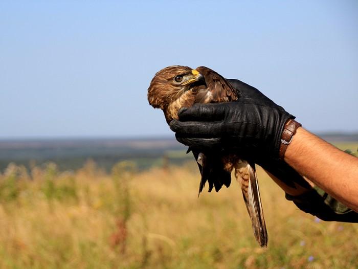 В День знаний Национальный парк «Самарская Лука» выпустил на волю трех хищных птиц