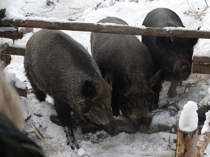 Самарская Лука: кабанов к Новому году порадовали новосельем
